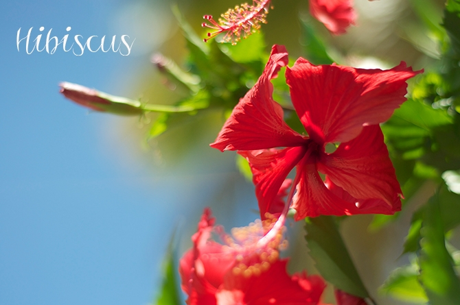 Barbados Blooms: The Hibiscus