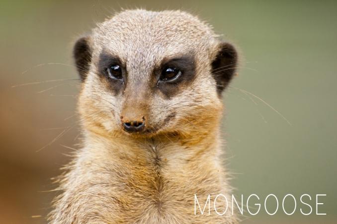 Living Wild: The Mongoose   Barbados animals