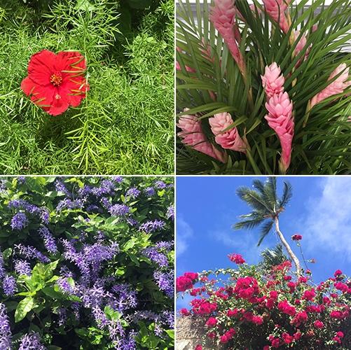 In full bloom| Barbados