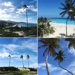 Coconut trees| Barbados