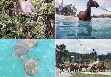 Wild life in Barbados