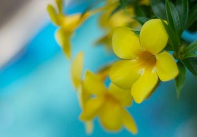 Allamanda Flower Barbados