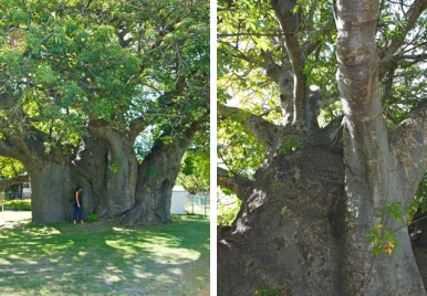 The oldest and largest tree in Barbados - The Boabab Tree