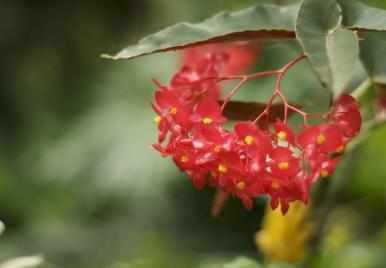 Begonias in Barbados