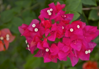 Bougainvillea Barbados