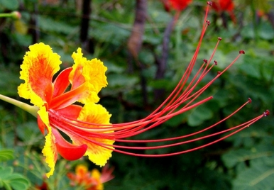 The Pride of Barbados - Our National Flower