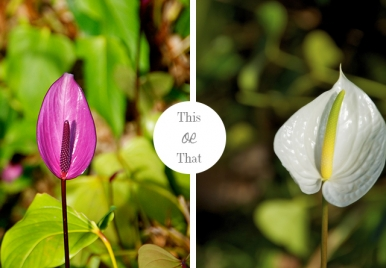 Purple VS White Anthuriums