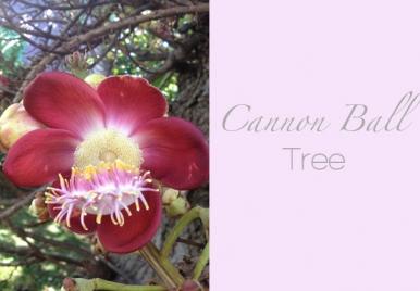 Cannon Ball Tree Barbados