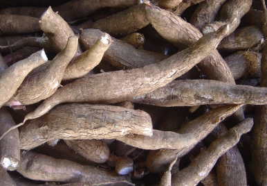 Cassava Root Barbados