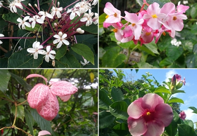Flowers of Barbados