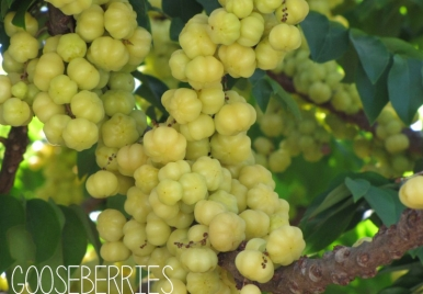 In Season: Gooseberries | Barbados fruits